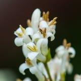 Privet Blossom Stock Photography