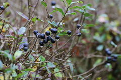 Privet Fruits Stock Photo