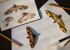 Privet hawk moth and hand-drawn illustrations. Tropical butterfly and drawings flat lay photo on table. Exotic insect science illustration. Hawk moth brown royalty free stock photos