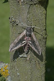 Privet hawk moth, Sphinx ligustri Stock Images