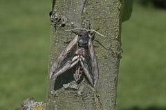 Privet hawk moth, Sphinx ligustri Stock Image