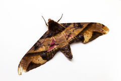 Privet hawk moth top view studio photo. Adult Sphingidae butterfly studio shot. Royalty Free Stock Photography