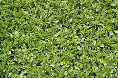 Privet Hecke Stockbild