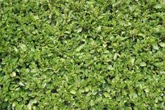 Free Privet Hedge Stock Image - 103351