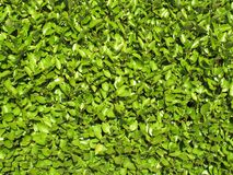 Privet hedge background. Neatly cut green Privet hedge close-up background Stock Photography