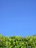 Privet Hedge and blue sky background Stock Images