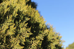 Privet hedge closeup Royalty Free Stock Photos