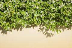 Privet hedge Stock Images