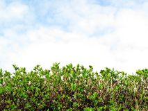 Privet Hedge and sky with clouds. Background with plenty of copy space Royalty Free Stock Photography