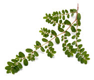 Privet Isolated Stock Images
