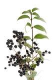 Privet, Ligustrum, berries on twigs Royalty Free Stock Photos