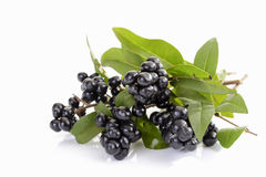 Privet, Ligustrum, berries on twigs Stock Photo
