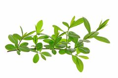 Privet (Ligustrum vulgare) Stock Image