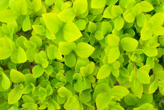 Privet Stock Image
