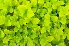 Privet. In a park, Beijing Stock Image