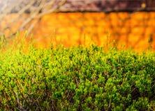 Free Privet Plant Close Up. Green Privet Hedge Bush In Lush Color. Stock Photos - 94624293
