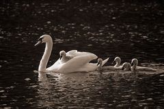 The privileged child. A cygnet sitting on its parent, followed by siblings royalty free stock images