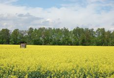 Privy in the wild. Mature field of oilseed rape before harvest Stock Image