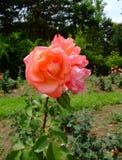 Prix grande Rosa Foto de Stock Royalty Free