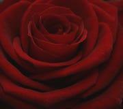 Prix grande Rosa Imagens de Stock Royalty Free