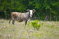 Prize Brindle Colored Steer Royalty Free Stock Image