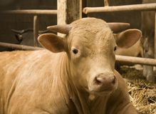 Prize bull. Resting in the cow shed royalty free stock photos