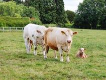 Prize Bull auf einem Gebiet mit Kuh und Kalb Lizenzfreies Stockfoto