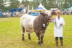 Prize bull in show ring. Female owner leading bull in show ring at Grantown on Spey Agricultural Show held on 8th August 2013 Royalty Free Stock Photography