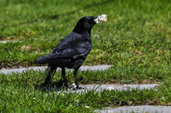 The Prize. A crow with some bread in his beak Stock Photos