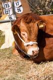 Prize gewinnendes Bull am Erscheinen-Abschluss oben Stockfotos
