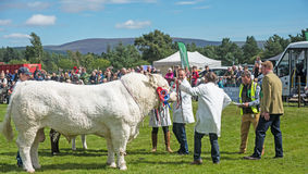 Prize winning bull in the ring at Grantown. Prize winning bull with rosettes in the judging ring at Grantown on Spey on 10th August 2017 stock photo
