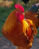 Prize winning Chicken. A friend raises prize winning chickens and this one is the grand champ,on a sunny day out on the farm Stock Photos