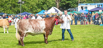 Prize winning cow in the ring at Grantown. Prize winning cow with rosettes in the judging ring at Grantown on Spey on 10th August 2017 royalty free stock photography