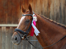 Prize-winning horse at a show Royalty Free Stock Photo