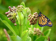 Prize winning monarch butterfly. Monarch butterfly feeding on a milk weed plant royalty free stock image
