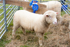Prize winning sheep at agricultural show Royalty Free Stock Image
