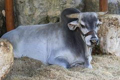 Prized brahma bull resting in Mexican stable. royalty free stock image