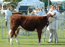 Prized Bull at a County show Stock Images