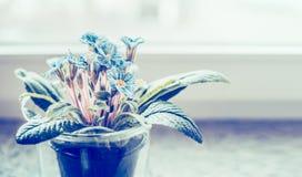 Prímula azul en pote de flores en el alféizar, cierre para arriba Imágenes de archivo libres de regalías