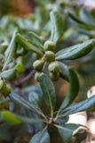 Prości liście i owoc ficus w Sochi ogródzie botanicznym Rosja zdjęcie royalty free