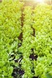 Prości rzędy sałatka na ogrodowym łóżku przy słonecznym dniem fotografia stock
