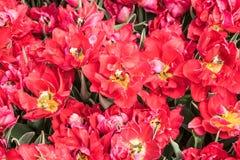 Prości wcześni tulipany Duc Van Tol Pomarańcze Obrazy Stock