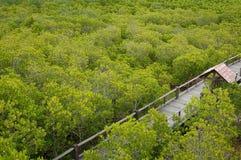 Pro oro nella foresta della mangrovia con una traccia Fotografie Stock Libere da Diritti
