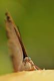 Probóscide de la mariposa en la acción Fotografía de archivo libre de regalías