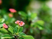 A probabilidade de intercepção cor-de-rosa Sião das flores do close up floresce a florescência com folha verde Fotografia de Stock