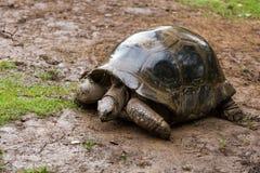 Probablement une tortue géante des Seychelles Photos libres de droits