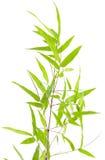 Probenmaterial des japanischen Bambusses auf Weiß stockfotografie