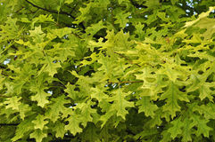 Problèmes de santé d'arbre : Chlorose Photos libres de droits