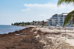 Problema das algas do mar da alga de Sargassum na praia de México imagem de stock