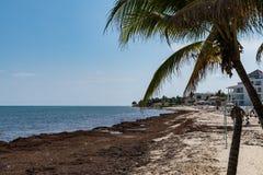 Problema das algas do mar da alga de Sargassum na praia de México imagem de stock royalty free
